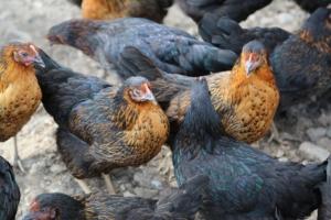 Hühnerhaltung im Winter