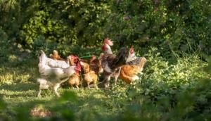 Hühnerläuse