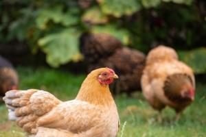 Kieselgur hühner
