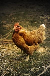 Hühnerstall mit Auslauf