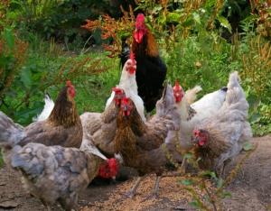 Hühner Futterautomaten