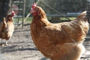 Hühnerschnupfen
