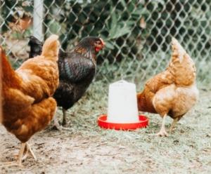 Lebendimpfstoff zum Hühner impfen