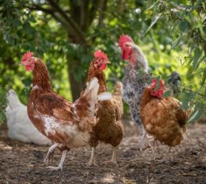 Hühner während der Mauser