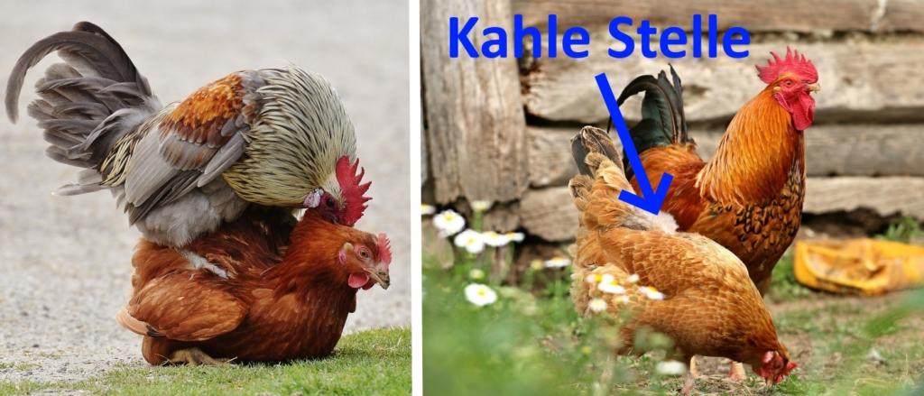 Kahle Stellen am Rücken der Hühner