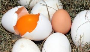 Eierfressen durch beschädigtes Ei im Nest