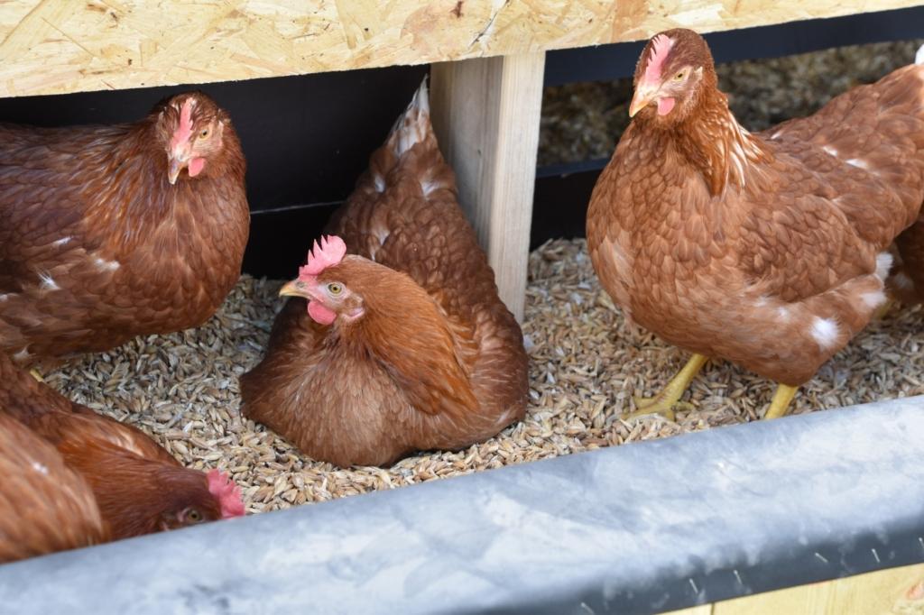 Hühner erlernen Eierfressen