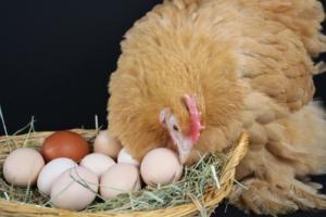 Hühner fressen Eier