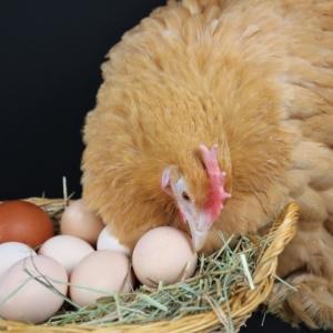 Hühner fressen Eier - Was tun?