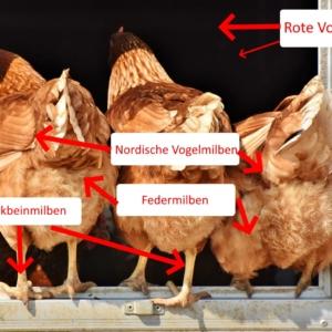 Hühnermilben erkennen