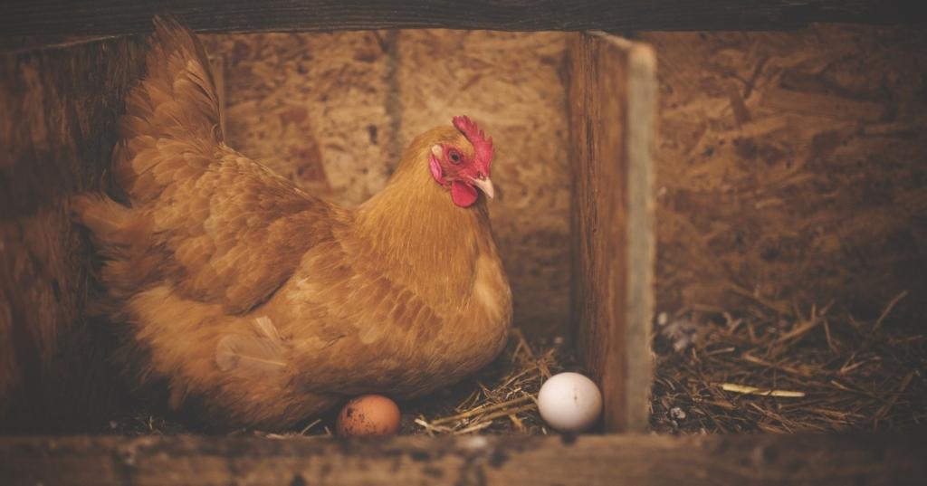 Huhn beim Legen
