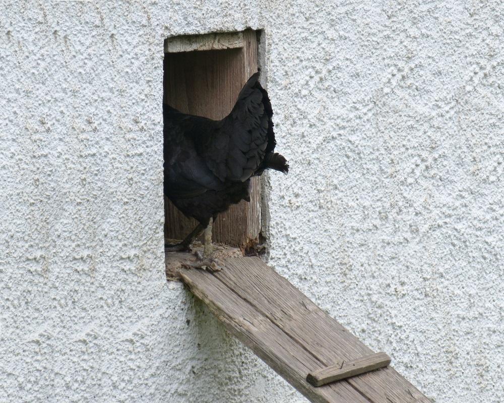 Automatische Hühnertür schützt die Hühner