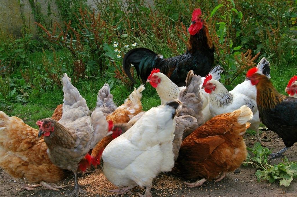 Hühnerfutter bei Milben
