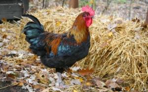 Einstreu im Hühnerstall