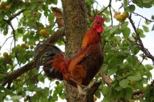 Hahn auf dem Baum - Aufbäumen