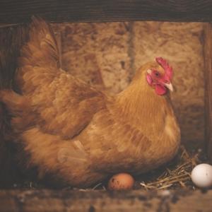 Das Legenest im Hühnerstall