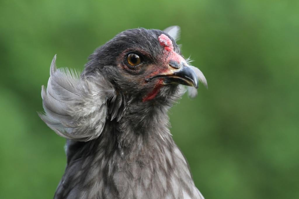 Araucana Zwerghühner - Attraktive kleine Hühnerrasse