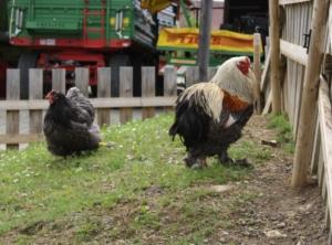 Große Hühnerrassen brauchen keinen hohen Zaun