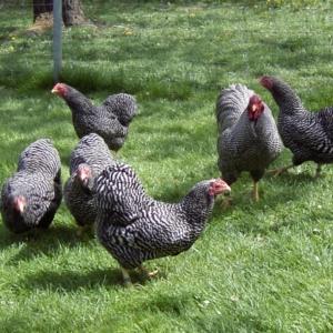 Hühnerrassen für Anfänger - 10 Robuste Hühner, die viele Eier legen
