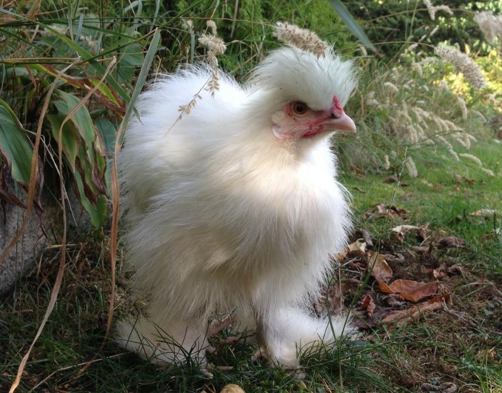 Kleine Hühnerrassen - Die Zwergseidenhühner
