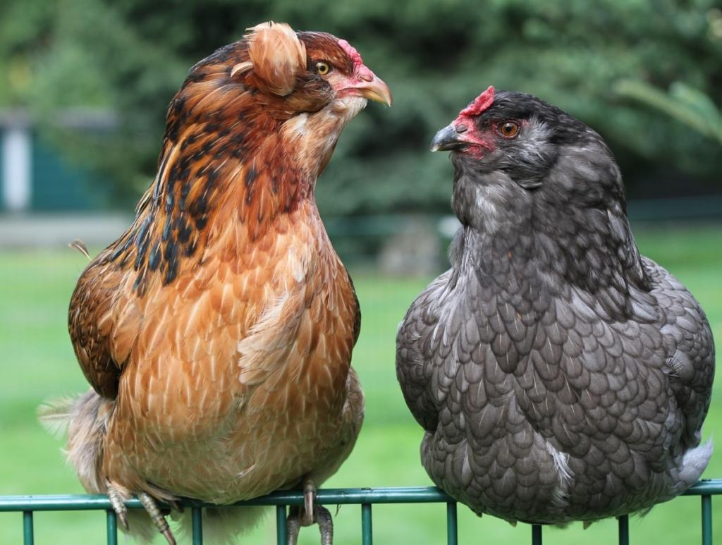 Hühner die grüne Eier legen - Araucana