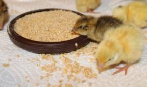 Futter für Hühnerküken