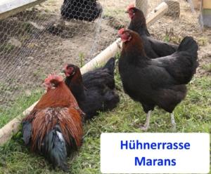 Diese Hühner legen lange Eier