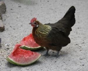 Gesunde Leckerlies als Hühnerfutter