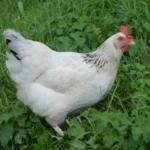 Sussex Huhn auf der Wiese