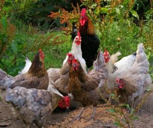 Legekorn für welche Hühner