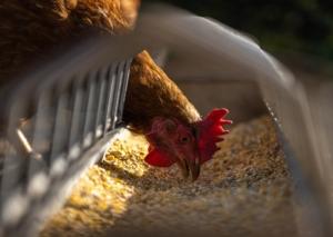 Legemehl für Hühner