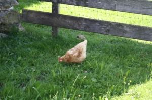Huhn auf Wiese mit Gräsern und Kräutern
