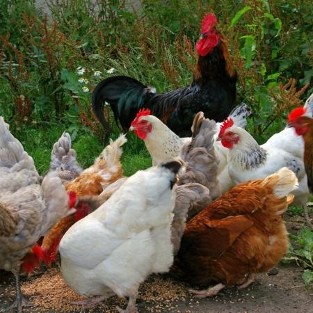 Körnermischung für Hühner