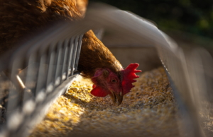 Futtertrog für Hühner