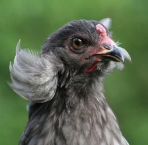 Grüneierleger Hühner