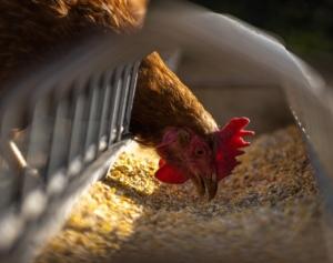 Bestandteile des Hühnerfutters