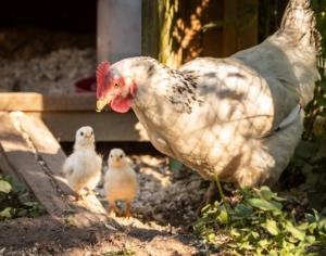 Große und kleine Hühner