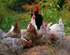 Hühner fressen Körner im Freilauf