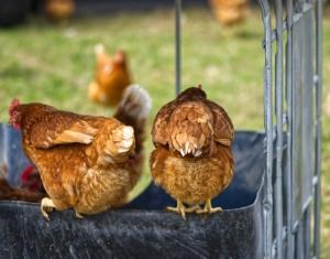 Hühnerstall mit Freilauf Modelle in der Praxis