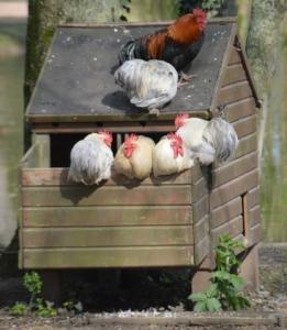 Hühnerstall kaufen in der Praxis