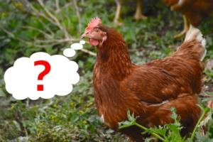 Hühnerstall mit Auslauf ideal?