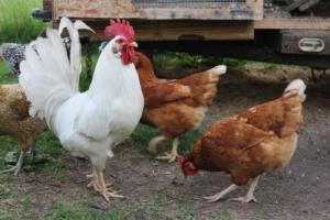 Offene Grasnarbe spricht für Hühnerstall auf Rollen