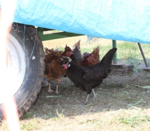 Schatten unter dem Mobilen Hühnerstall