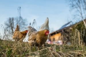 Sommer sind Hühner draußen