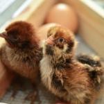 Ideale Bruttemperatur bei Hühnern?
