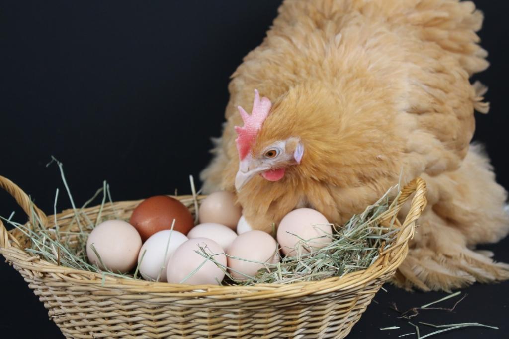 Eier im Hühnernest - Küken ausbrüten