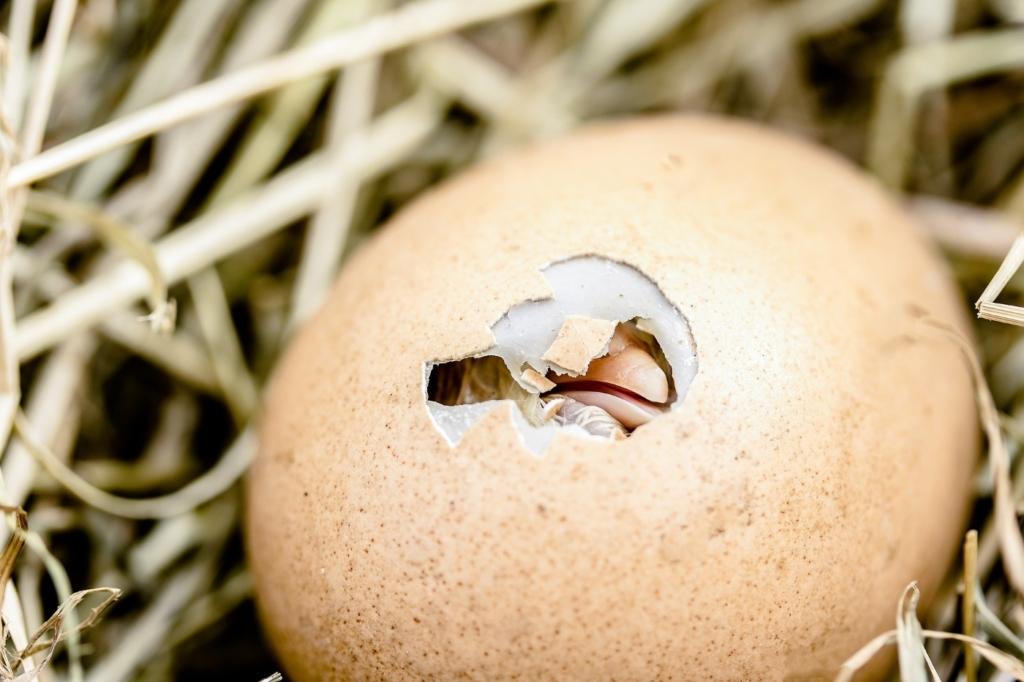 Wenn die Eihaut angetrocknet ist kann man dem Küken aus dem Ei helfen