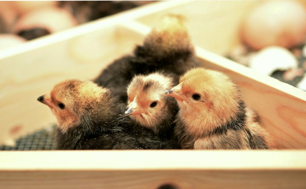 Hühnereier ausbrüten