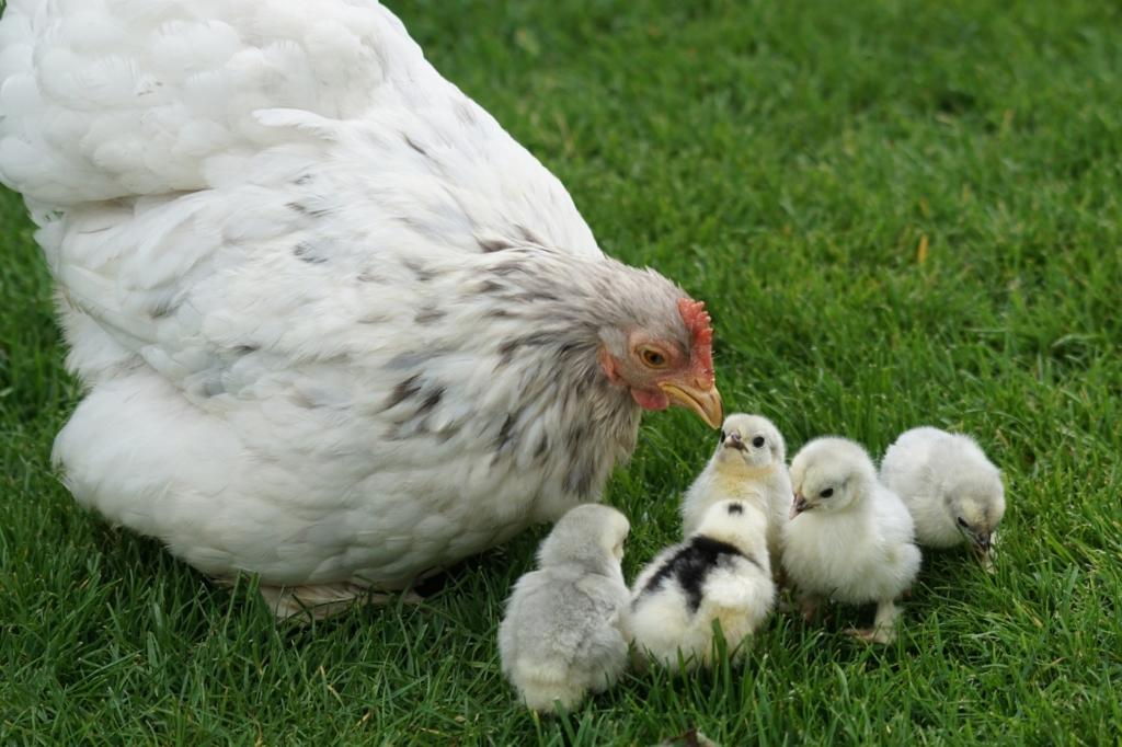 Naturbrut - Hühnereier ausbrüten mit einer Glucke