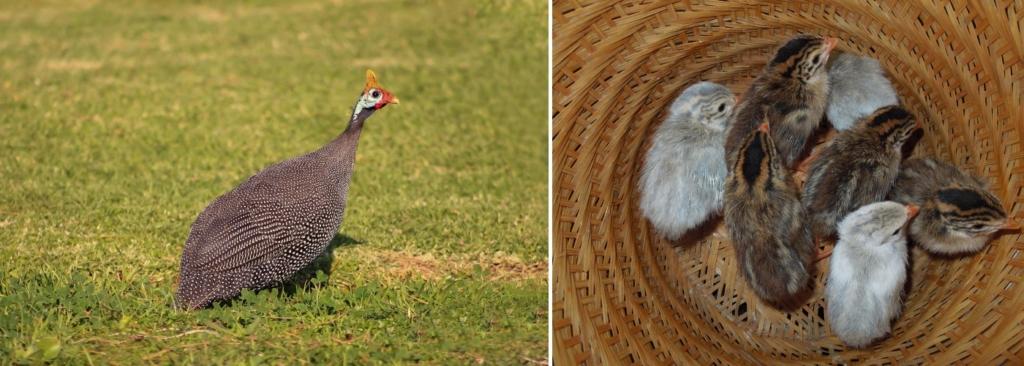 Bruttemperatur Perlhühner